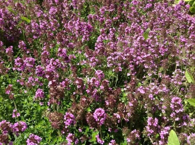тимьян цветы