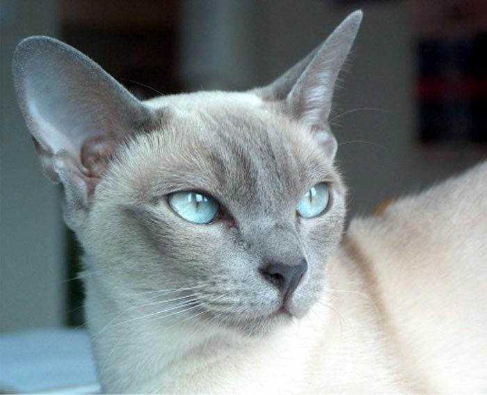 Голубая тонкинка