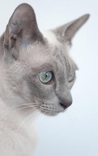Кот с серой мордой