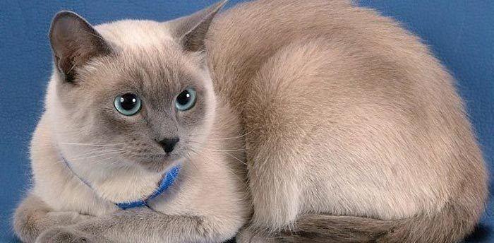 Тонкинская кошка в ошейнике