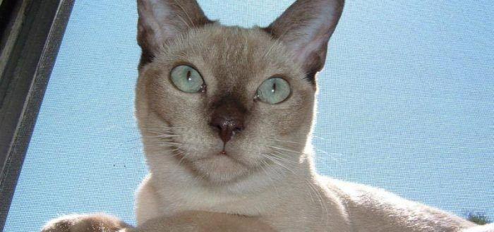Светлый кот с темным носом