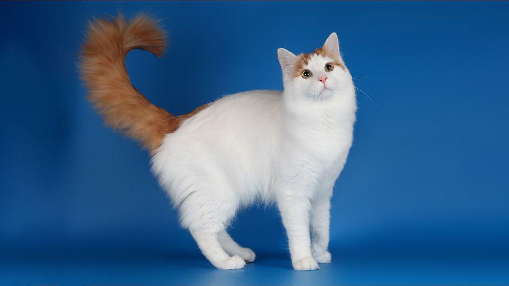 Турецкий ван характер и особенности ванской кошки