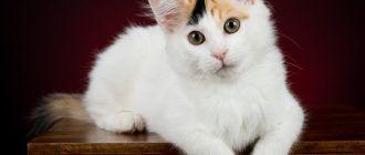 Кот ван белый
