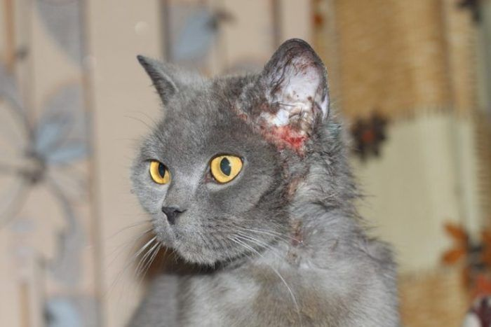 Кошка дымчатая