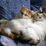 Два сонных кота
