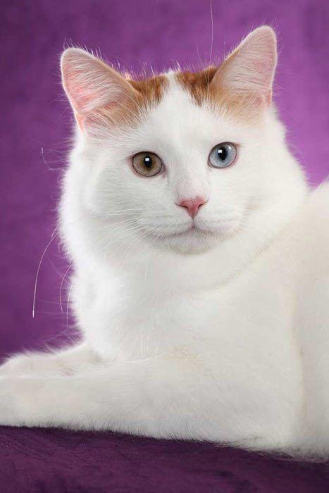 Кот на сиреневом фоне