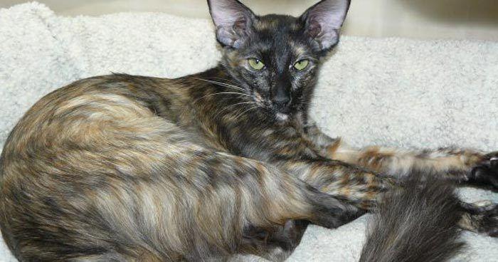 Пятнистый яванский кот