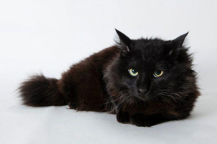 Йоркширская кошка