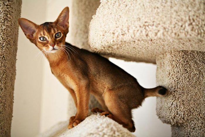 Котенок абиссинки