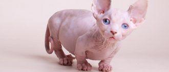 Котенок бамбино