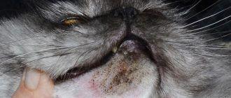 Акне у кошки