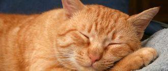 Рыжий американский кот