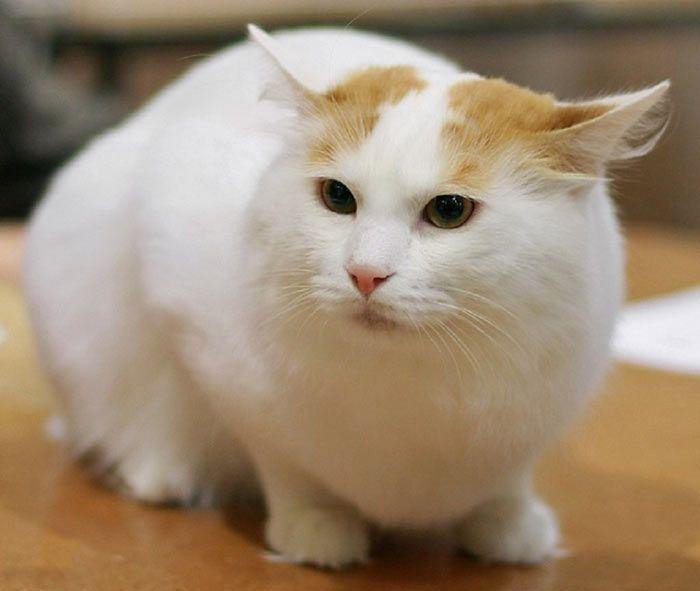 Белый кот с рыжиной