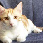 Двухцветная анатолийская кошка