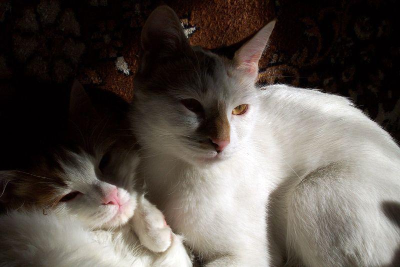 Два кота анатолийца