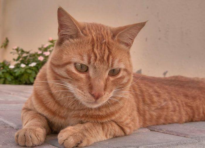 Рыженький кот арабский мау