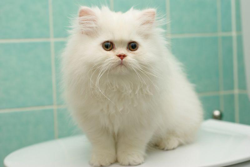 """Картинки по запросу """"фото пушистого белого кота"""""""""""