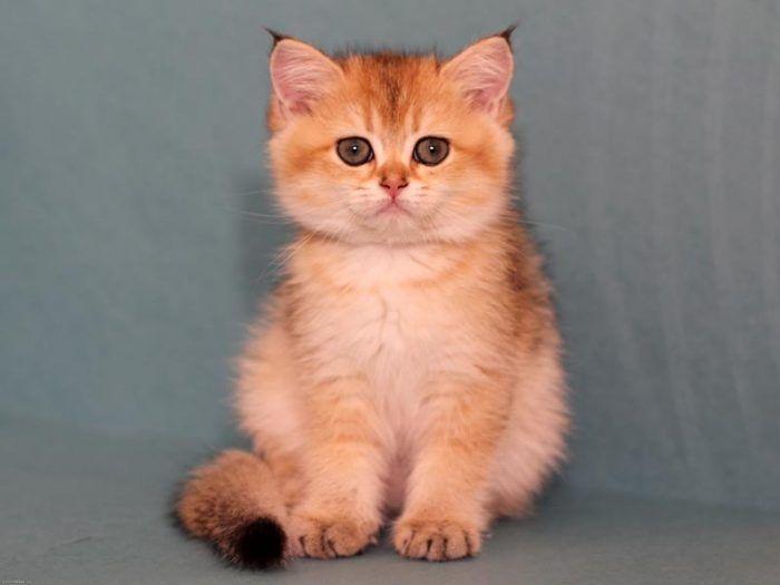 Котеночек британский
