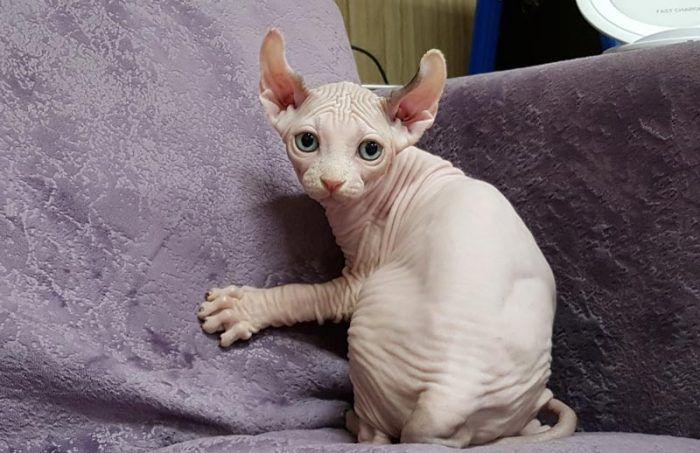 Котенок эльф на диване