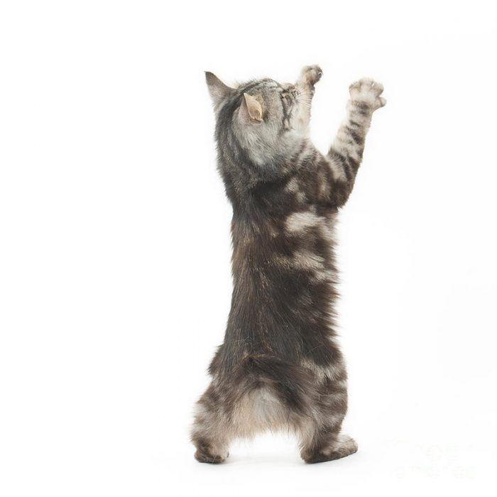 Котенок бобтейла