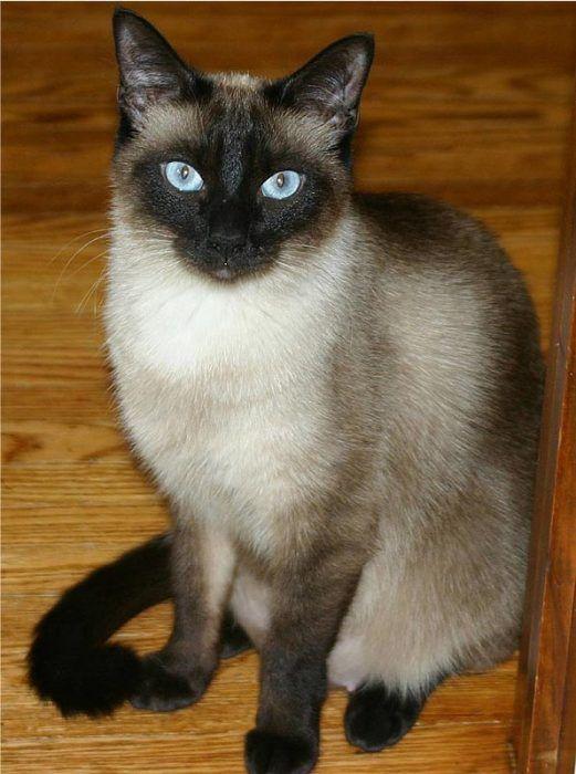Кот тайской породы
