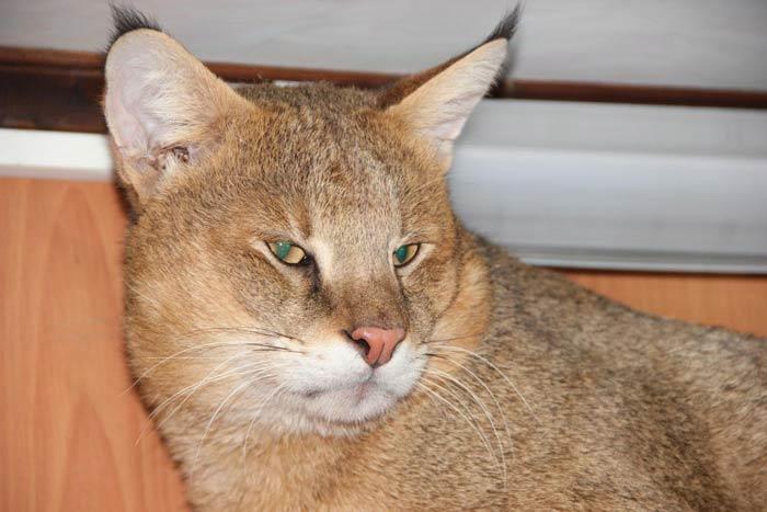 Кот с кисточками