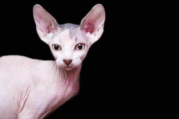 Котенок сфинкса смотрит на камеру