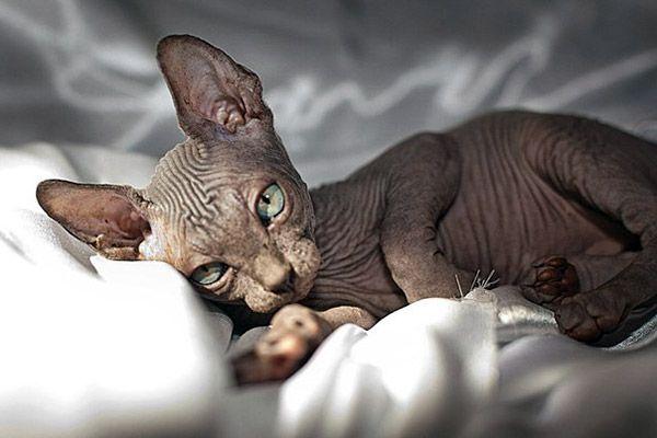 Морщинки у кота