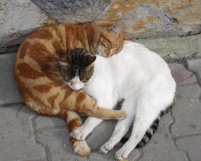 Рыжий и трехцветный коты