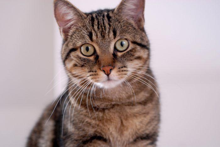 Взрослая кошка европейской породы