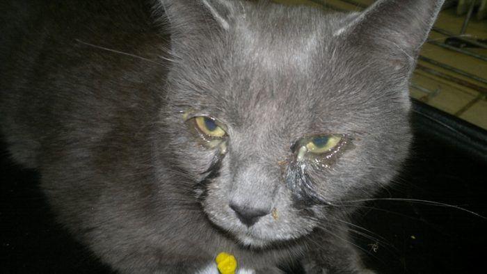 Гнойные глаза у кошки
