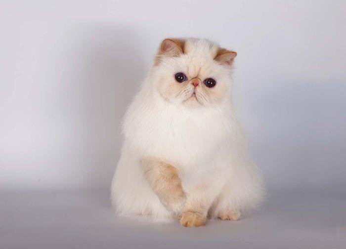 Гималайская порода кошек фото и описание thumbnail