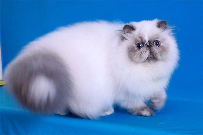 Большой пушистый кот и хвост