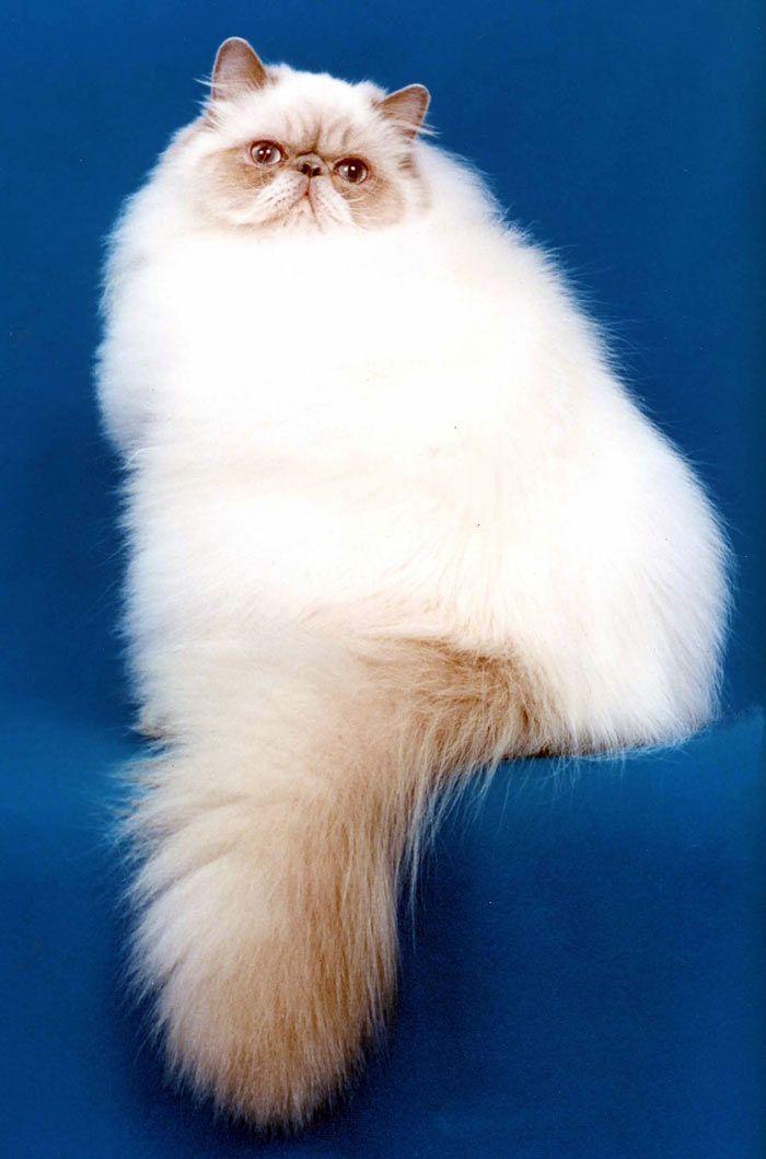 Очень пушистый кот в полный рост