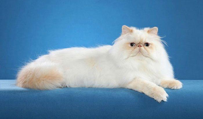 Гималайский кот лежит