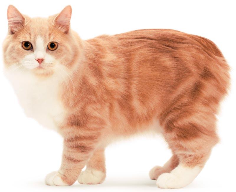 Рыже-белый кот кимрик