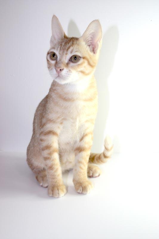 Котенок арабского мау