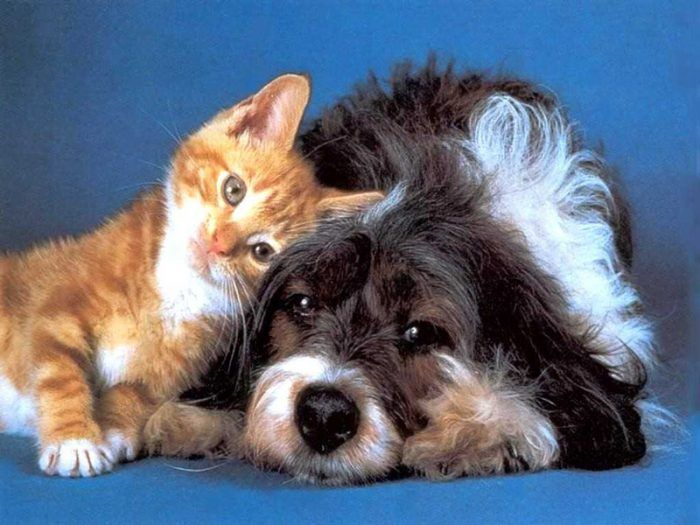 Взрослая собака и котенок
