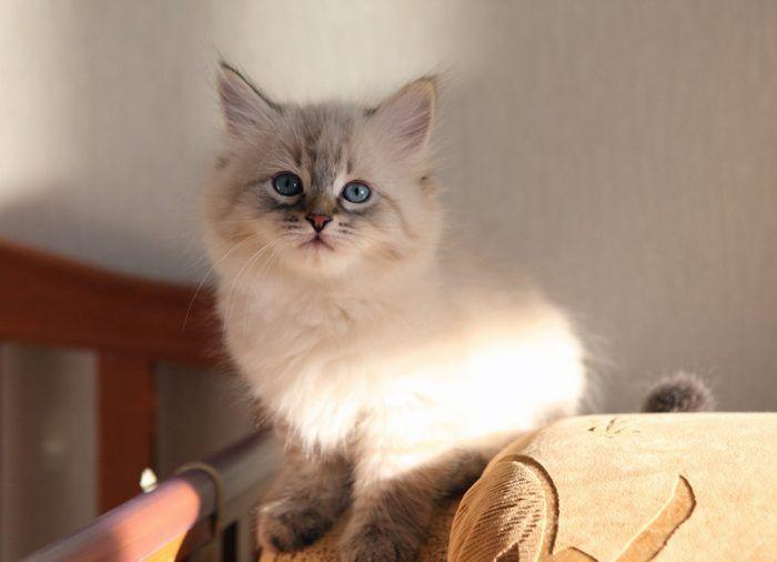 Котик от невской кошки