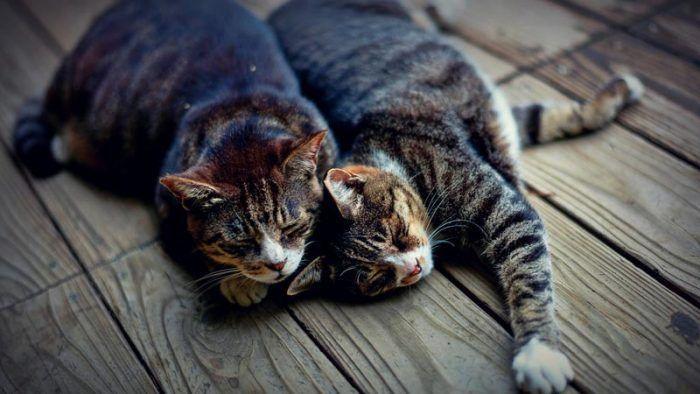 Два взрослых кота