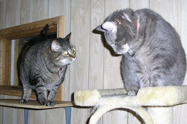 Кошки играют