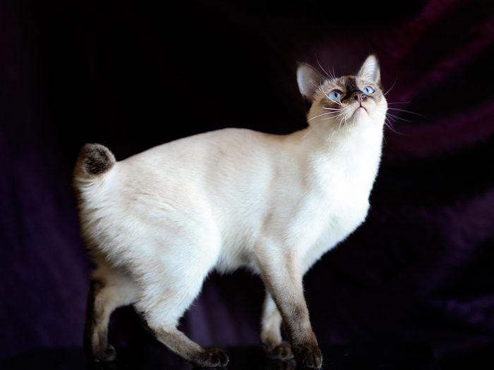 Котик без хвоста