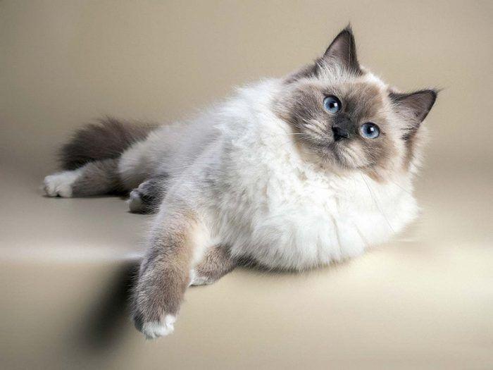 Ласковая невская кошка