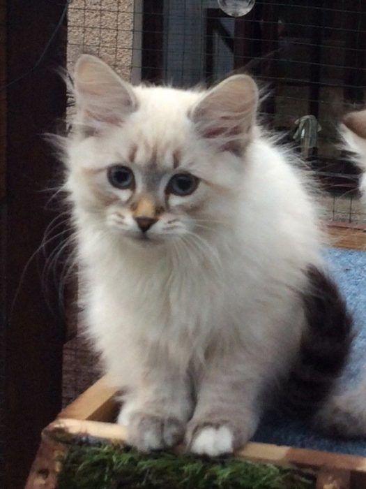 Котенок невской кошки