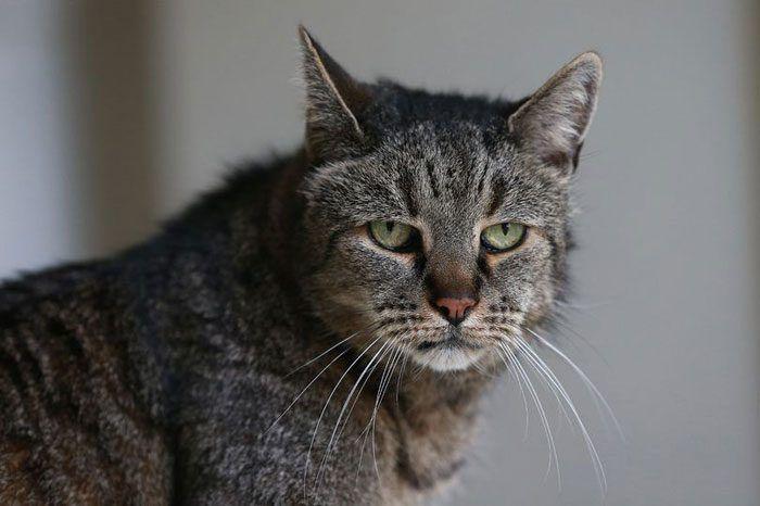 Кот Натмег