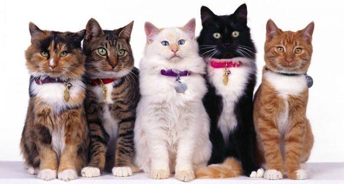 Кошки в ошейнике