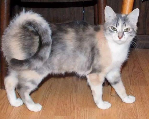 Кошка Американский рингтейл