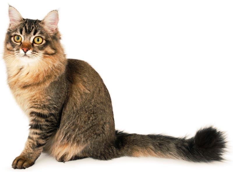 Порода кошек шантильи