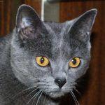 Кот с черным носом