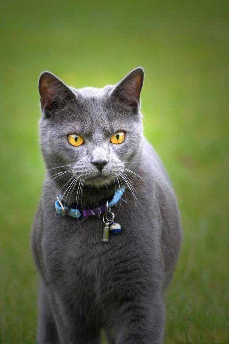 Кот в голубом ошейнике